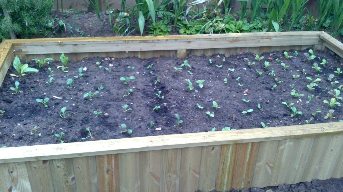 My raised-bed with my favourite vegetables planted in it