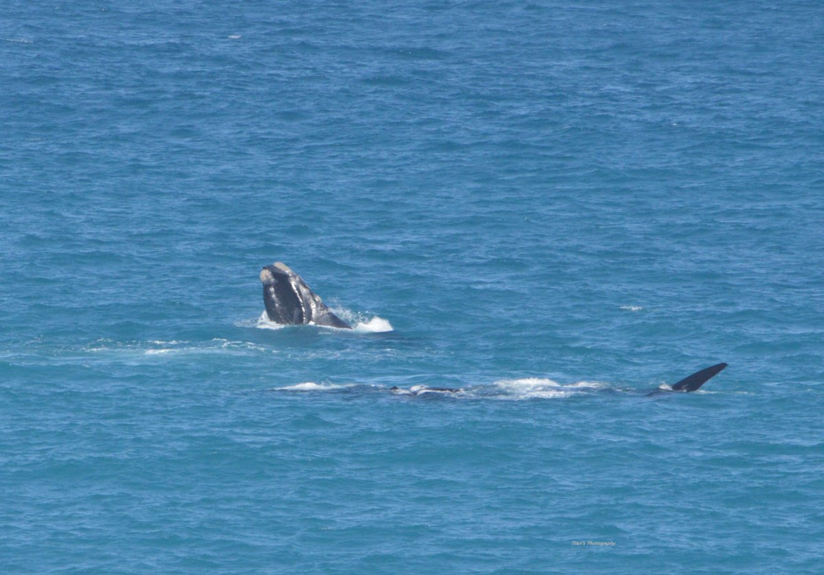 Whales showing off at the head of the bite at South Australia