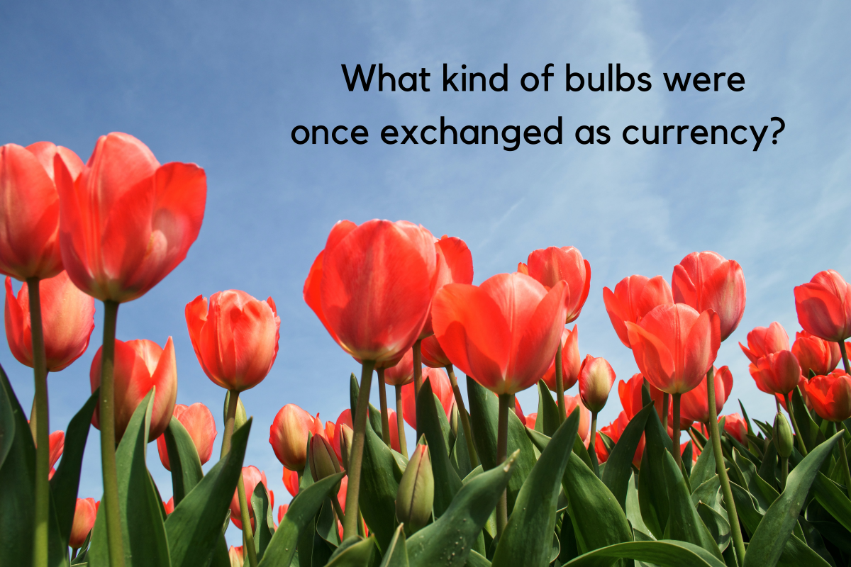 Tulip bulbs were exchanged as currency for a brief period in 17th-century Holland.