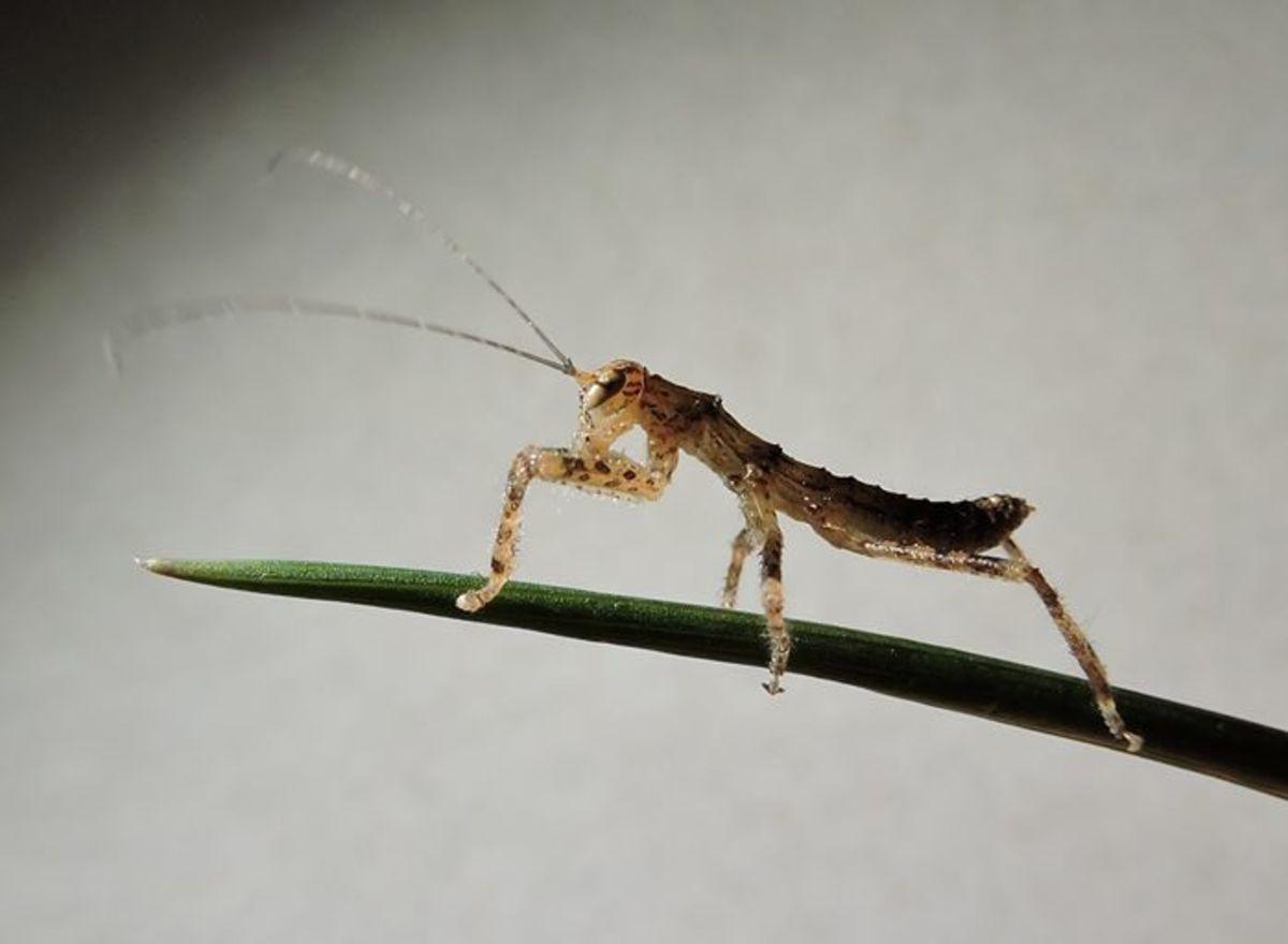 Gladiator Bug