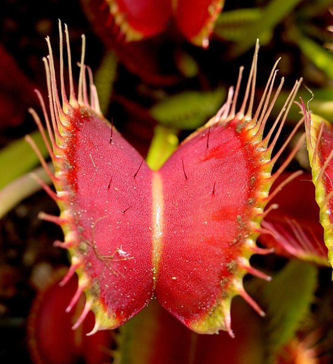 The Venus Fly Trap is a carnivorous plant that eats insects. The plant is native to North Carolina.