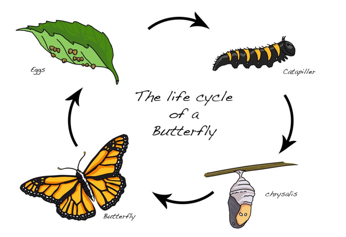 The four-stage metamorphosis of the butterfly