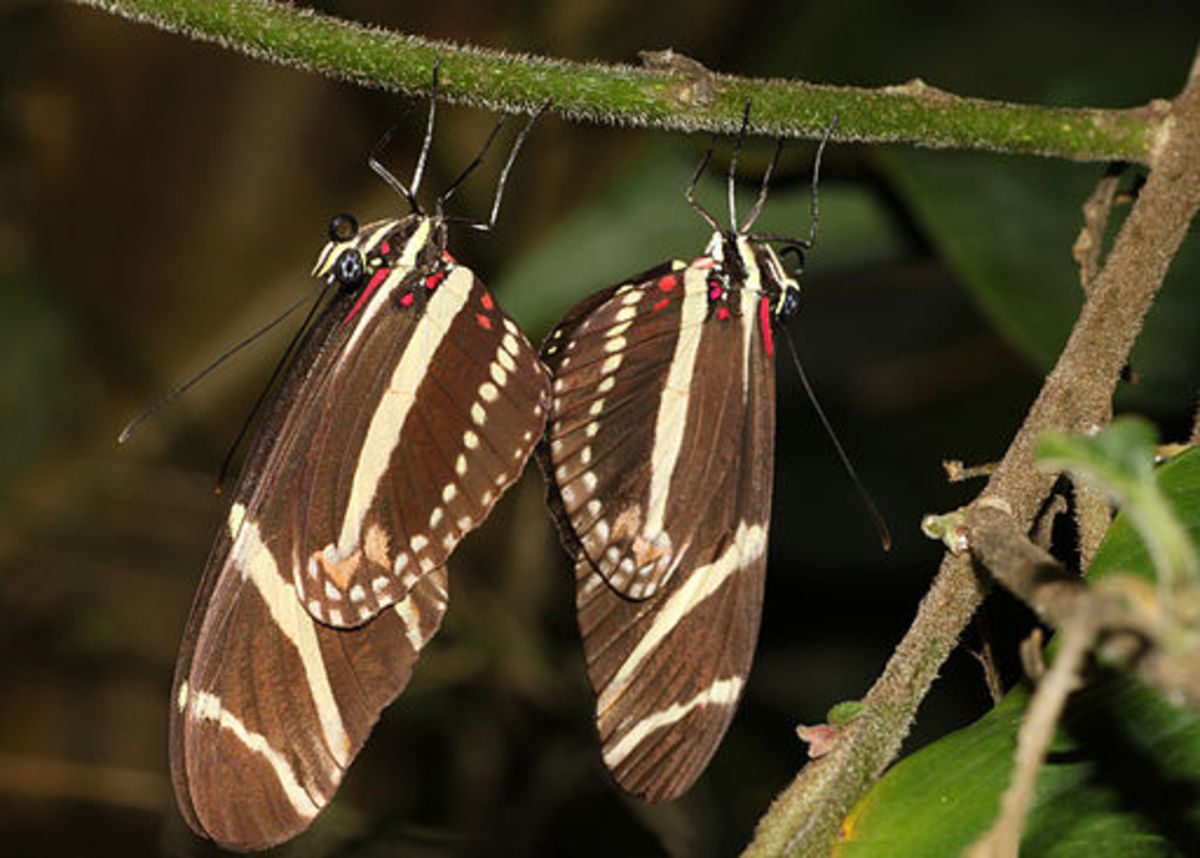 Zebra Longwings Mating