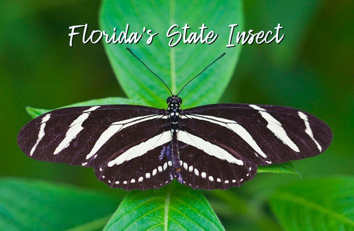 Florida's State Insect: Zebra Longwing Butterfly