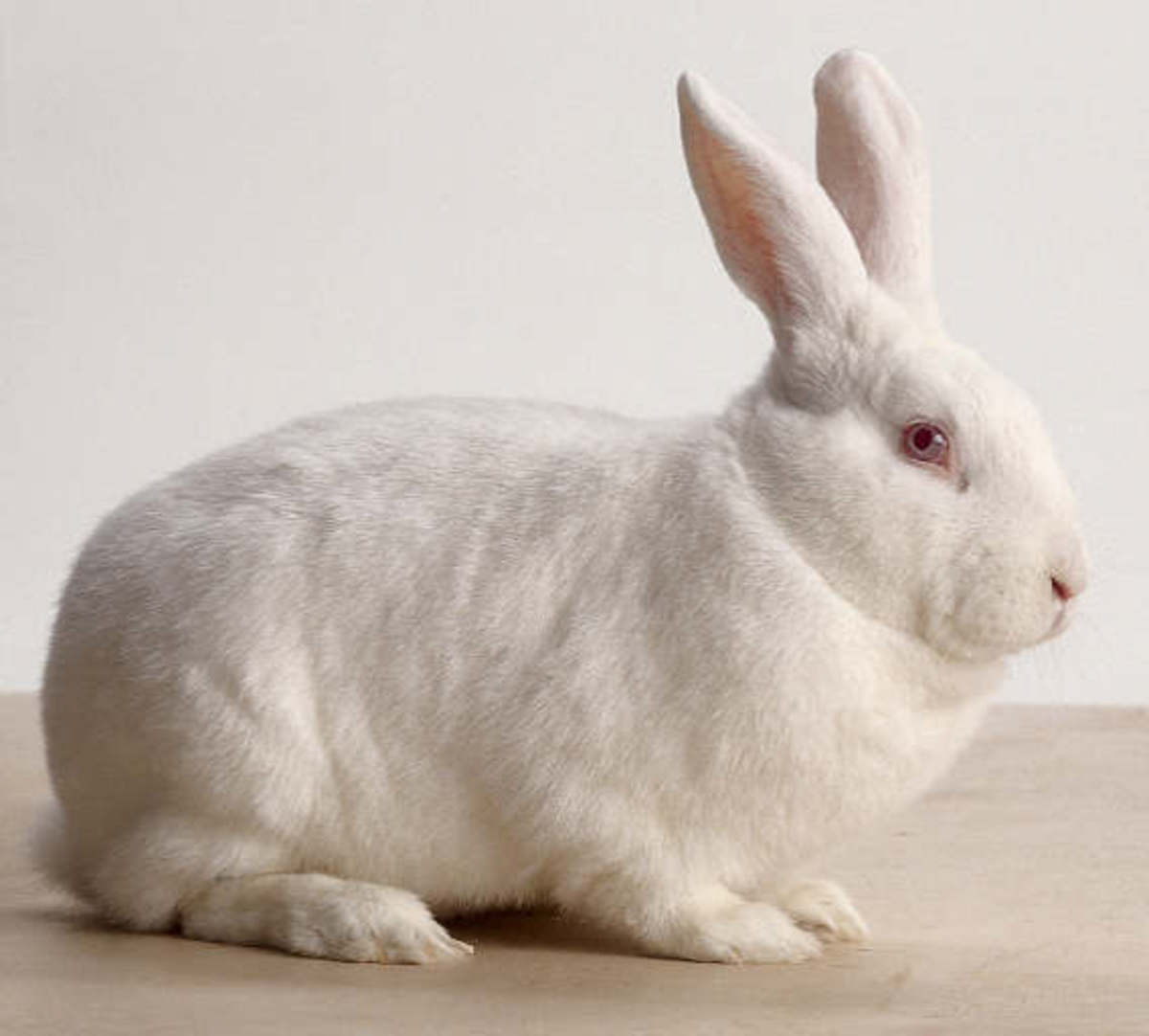Bunny Breed Guide: New Zealand White Rabbit