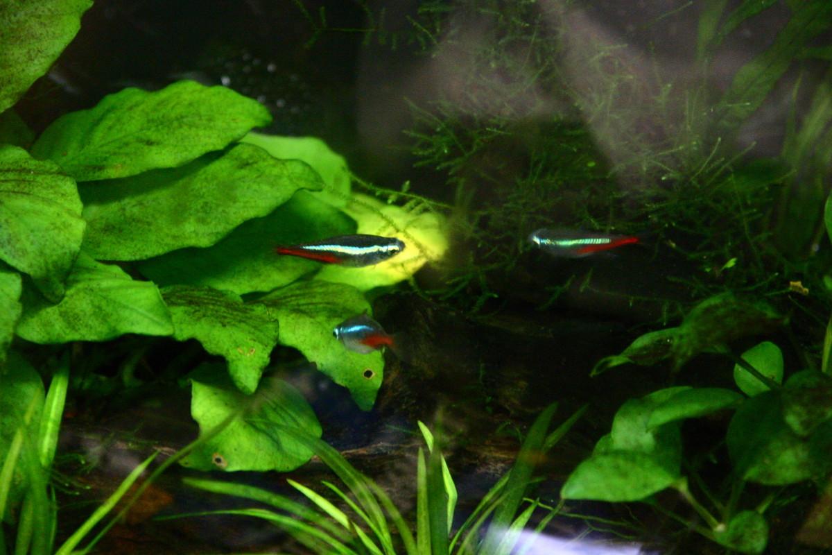 fish-care-neon-tetras-and-cardinal-tetras
