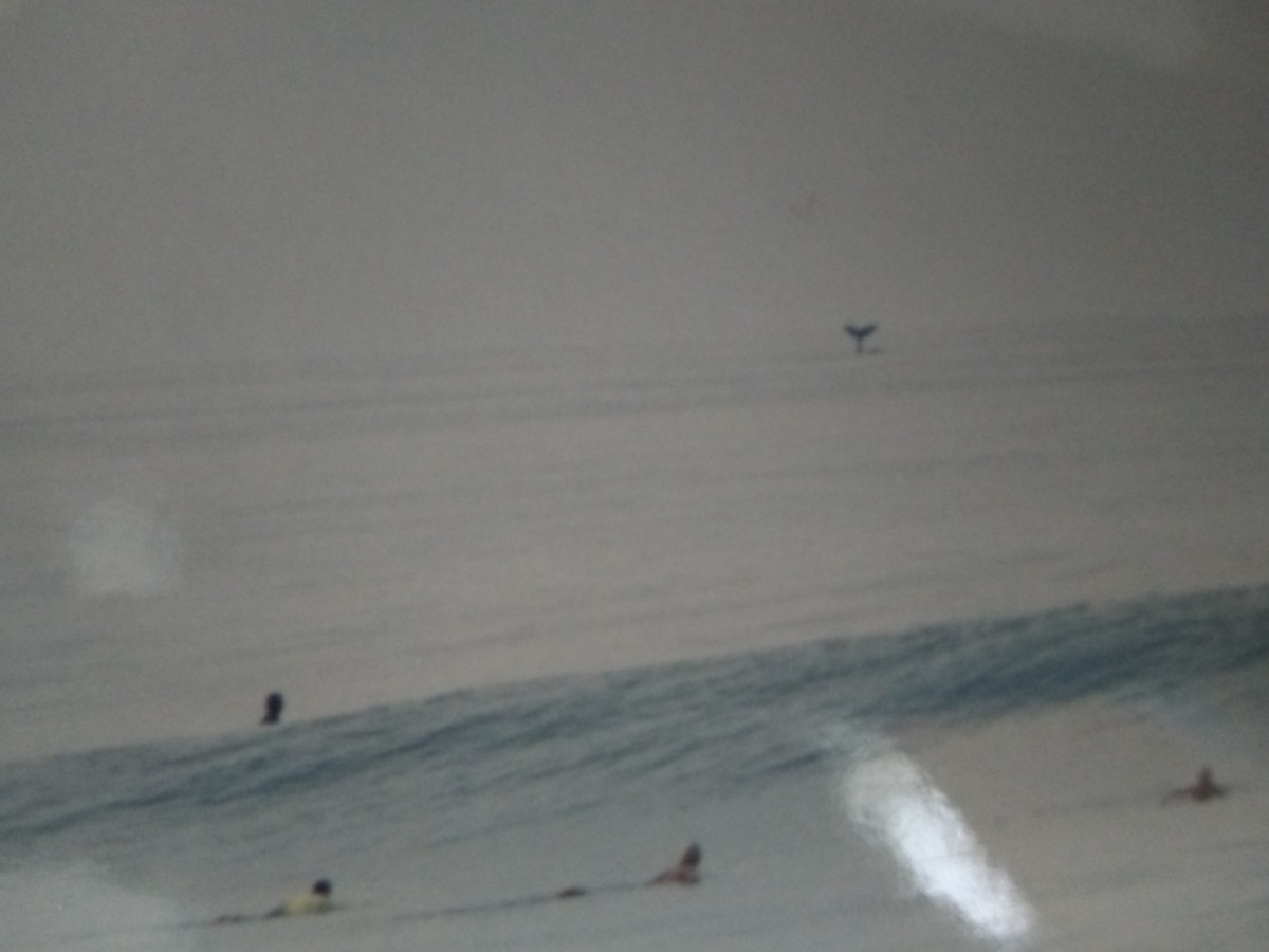 North Shore, Oahu Surfers and a Whale (Photo of a Photo)