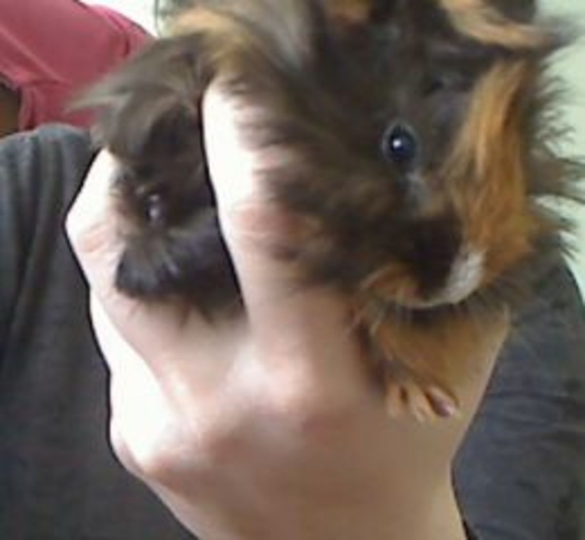 Regular handling is a must for a tame guinea pig.