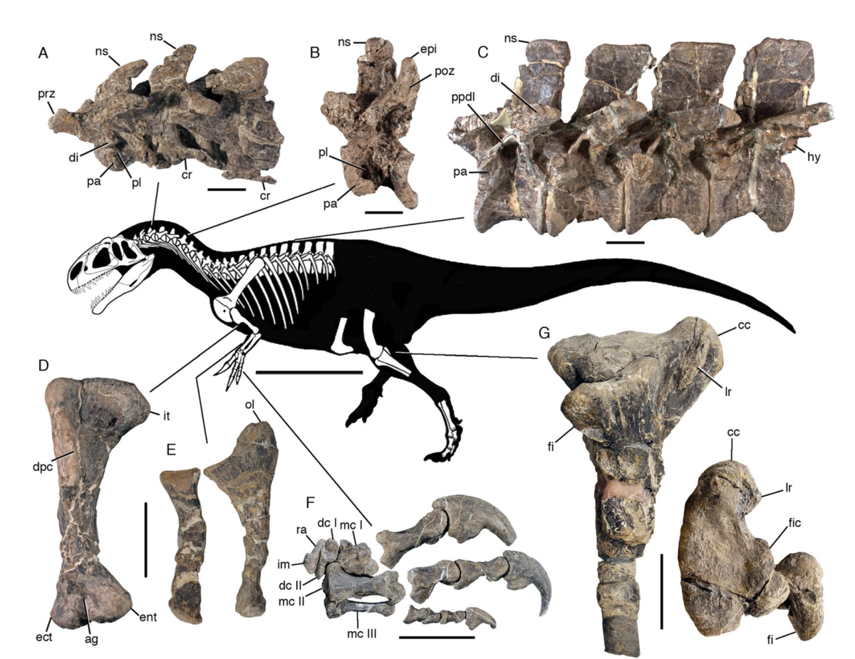 Known remains and projected anatomy of Asfaltovenator by Oliver Rauhut and Diego Pol.