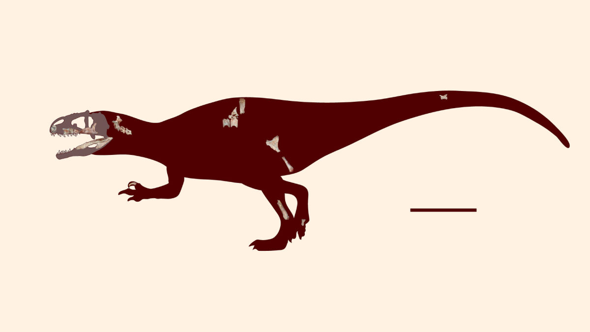 Siamraptor's known remains and projected anatomy; the scale bar is 1 meter (3.3 ft).