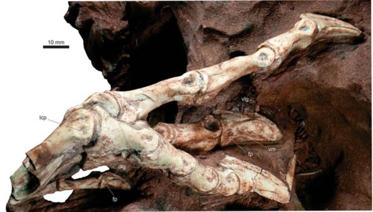 Vespersaurus' fossilized foot.