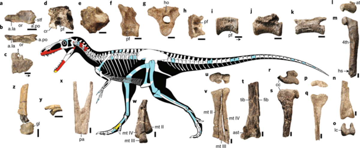 Known remains and projected anatomy of Suskityrannus by Scott Hartman. While the bones are red and light blue represent remain the different remains from two separate specimens, those in yellow are remains preserved in both specimens.