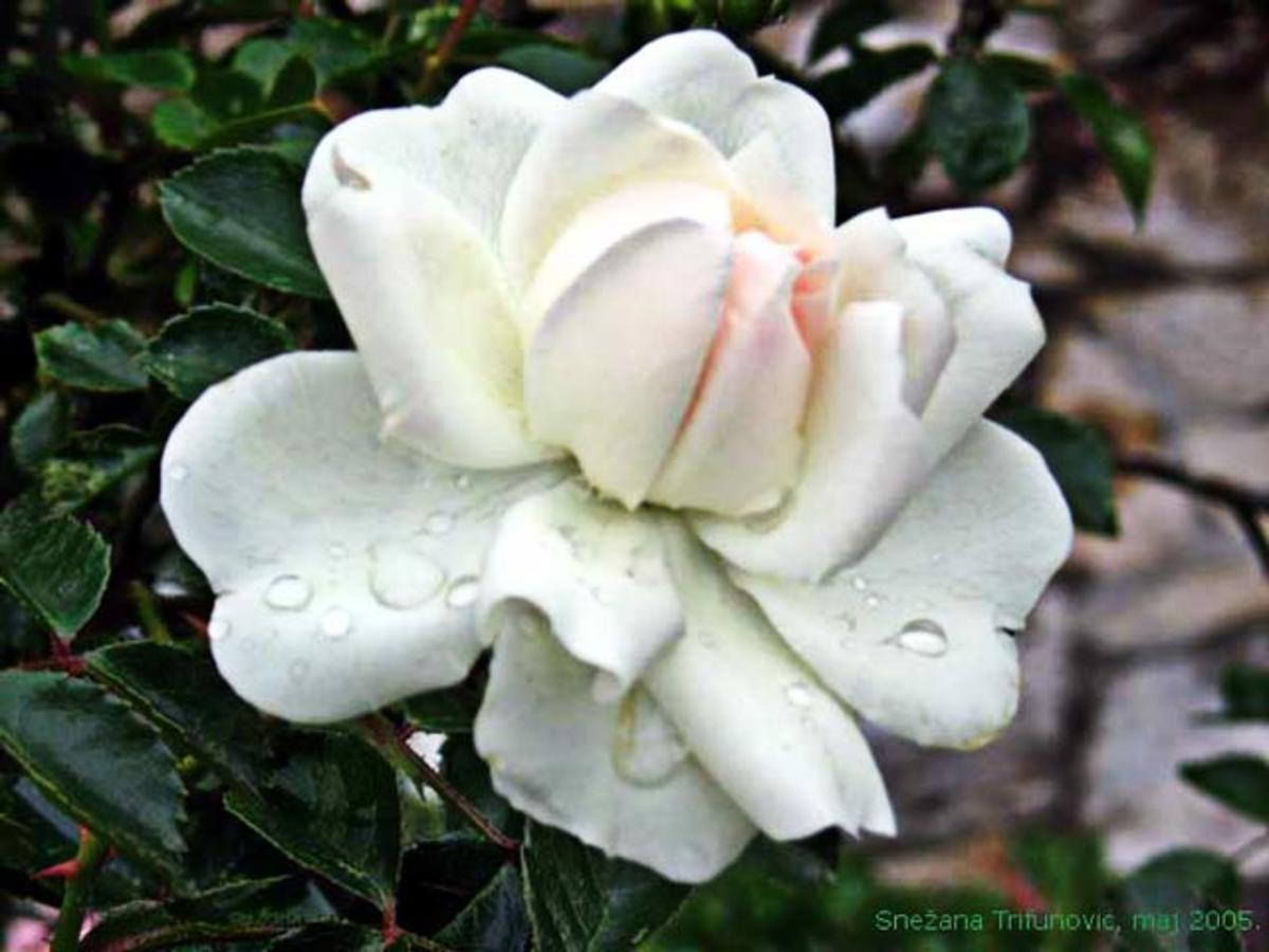the-little-christmas-rose