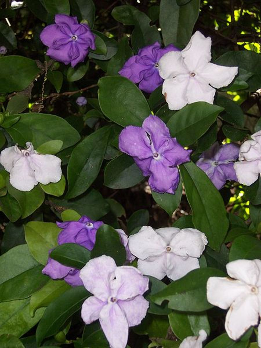 Brunfelsia Yesterday, Today and Tomorrow