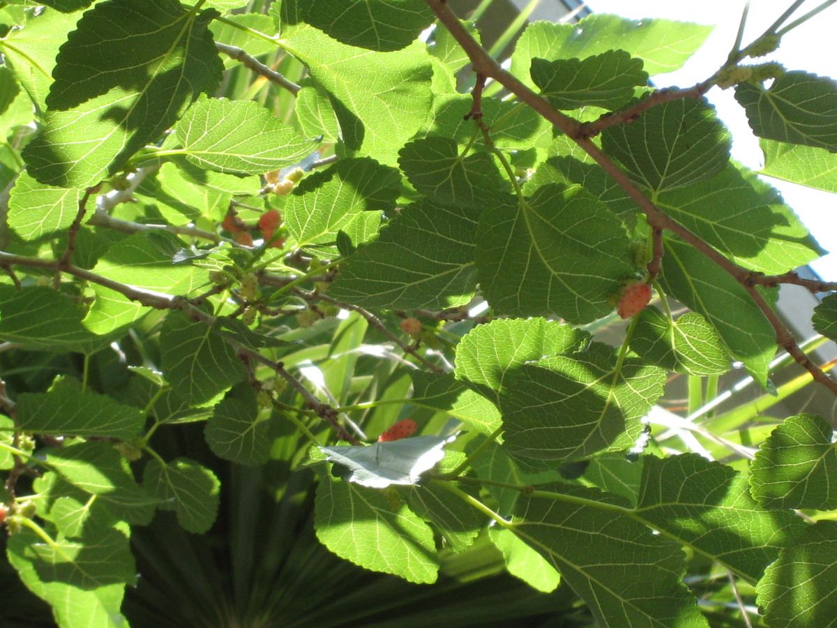 Mulberries ripening but not ready to eat!