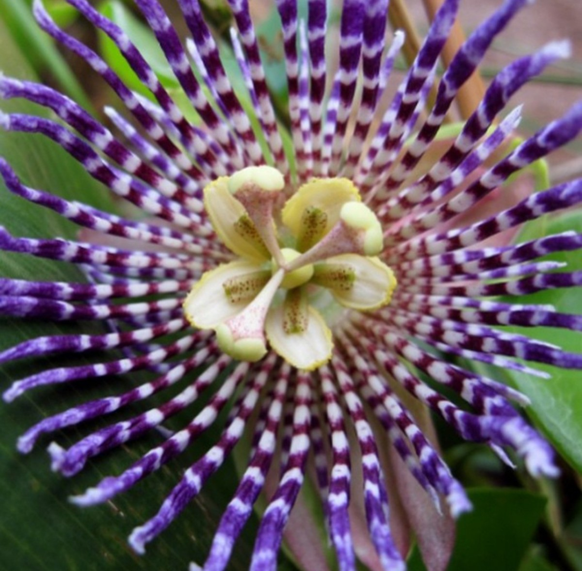 The blooming passionflower