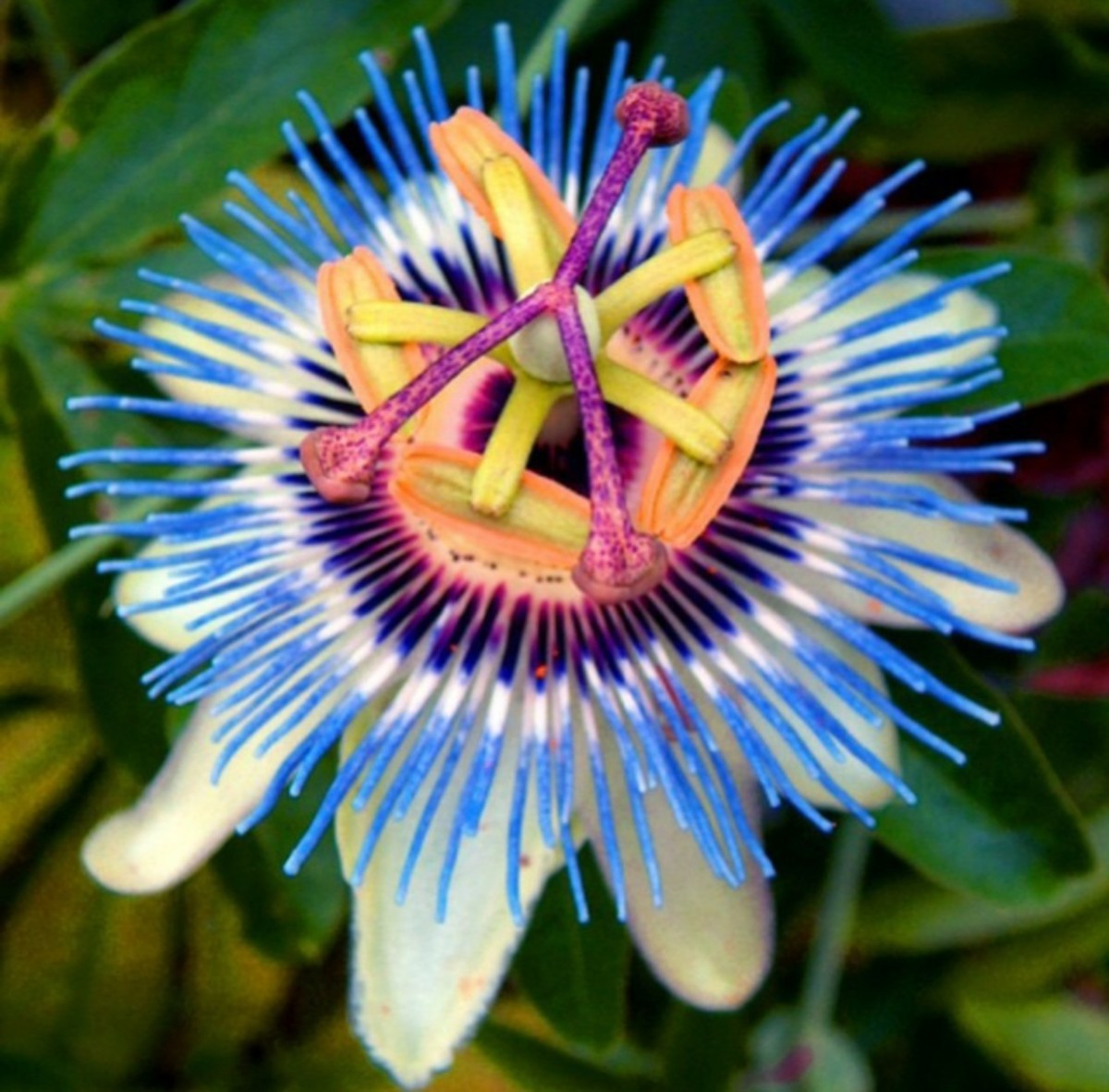 Blue Passiflora flower