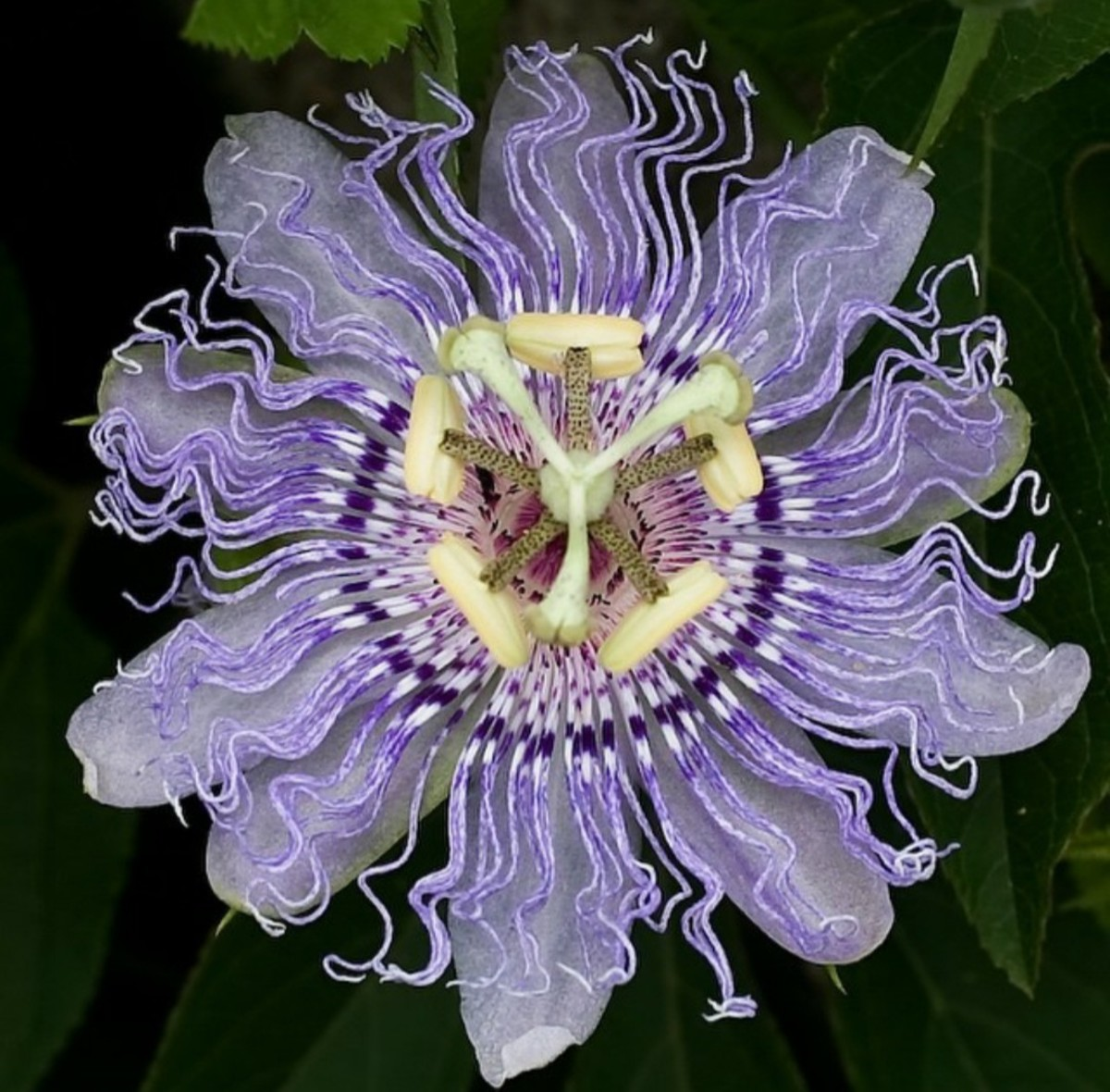 Violet passionflower