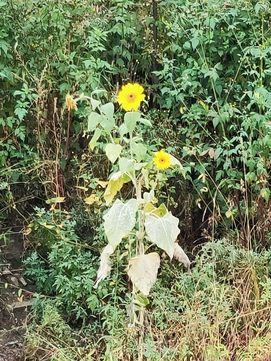 A pretty sunflower stands proudly blooming on the roadside