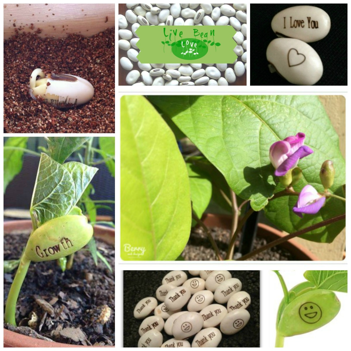 Magic message bean plants - engraved with words and images that reveal themselves when the bean sprouts.
