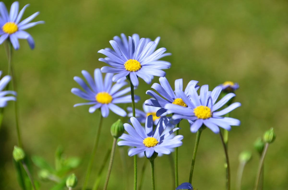 From Ever, Gentle Daisies Have Been Offering Their Beauty to Meadows and Woods -- and to a Poet's Inspiration. -- Val Karas