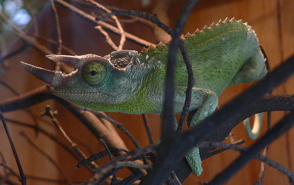 In this photo is a beautiful specimen of a Jackson's Chameleon. Notice his three horns in the photo.