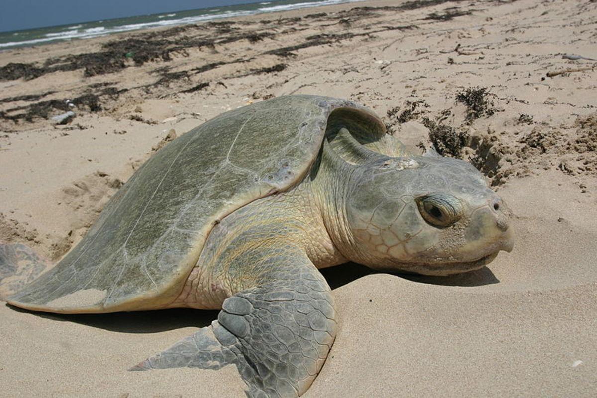 Kemp's Ridley Sea Turtle nesting