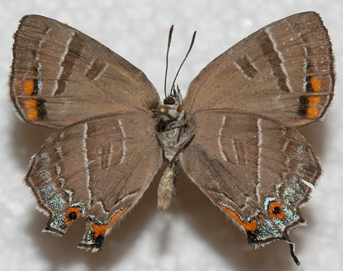 The Colorado hairstreak has a bright purple upperside and a brown underside.