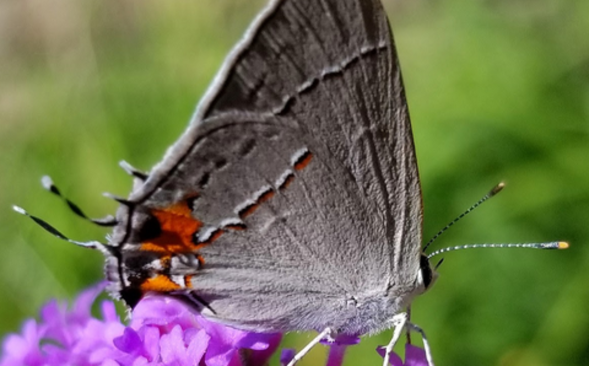 Which end is which? The hairstreak butterfly's tails make it hard for predators to tell.