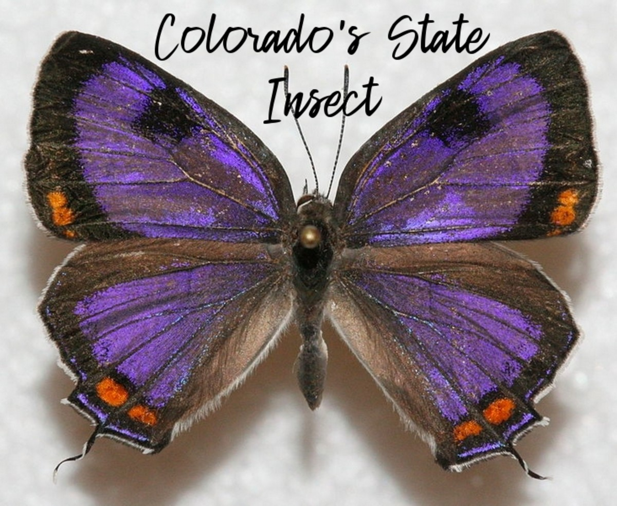 state-insect-of-colorado