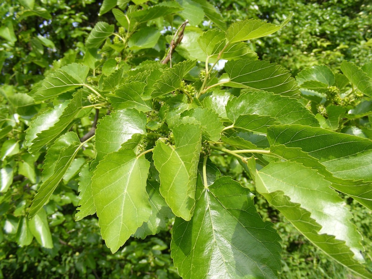 Mulberry tree with new full growth