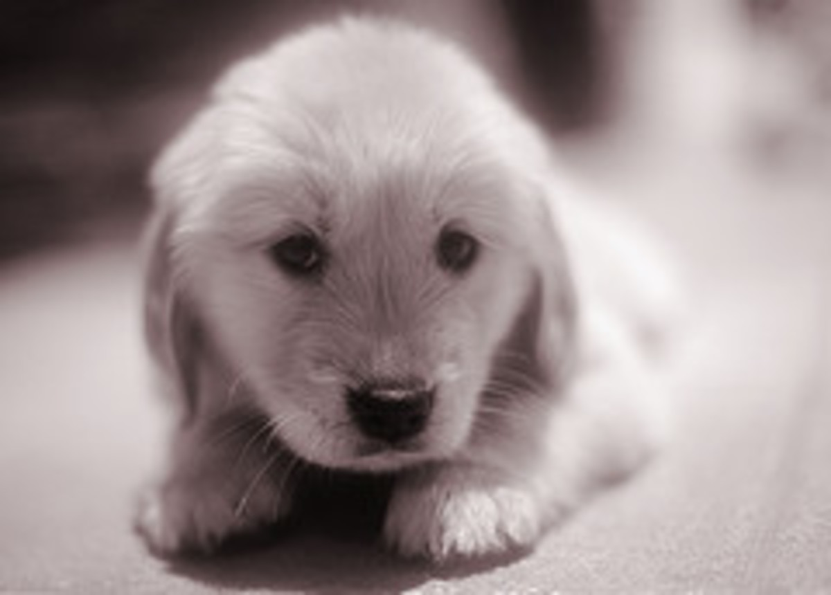 Adorable Golden puppy photo