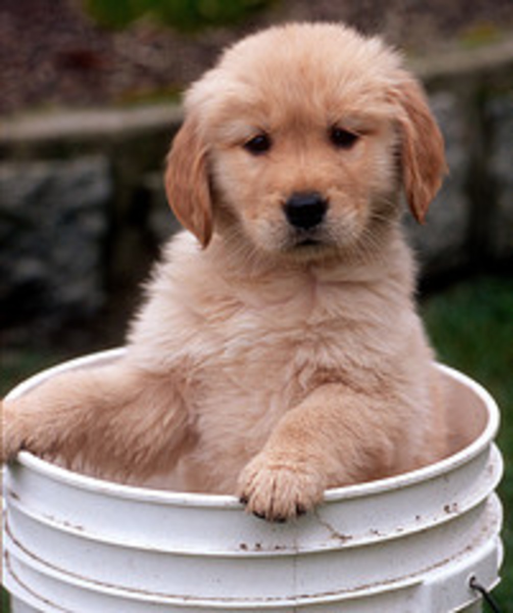 Golden Retriever Bath Old School