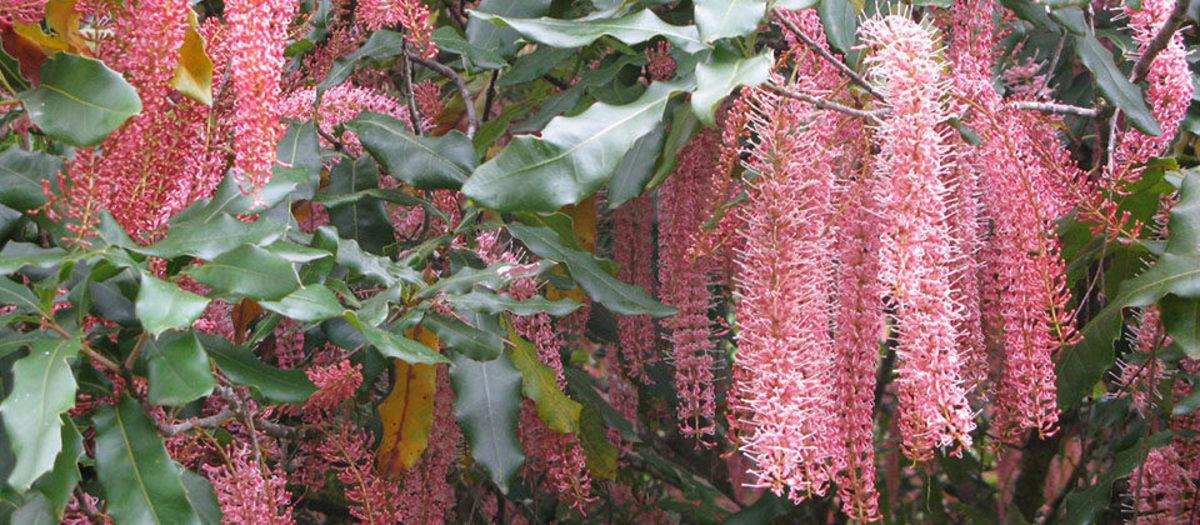 Pink macadamia blossoms
