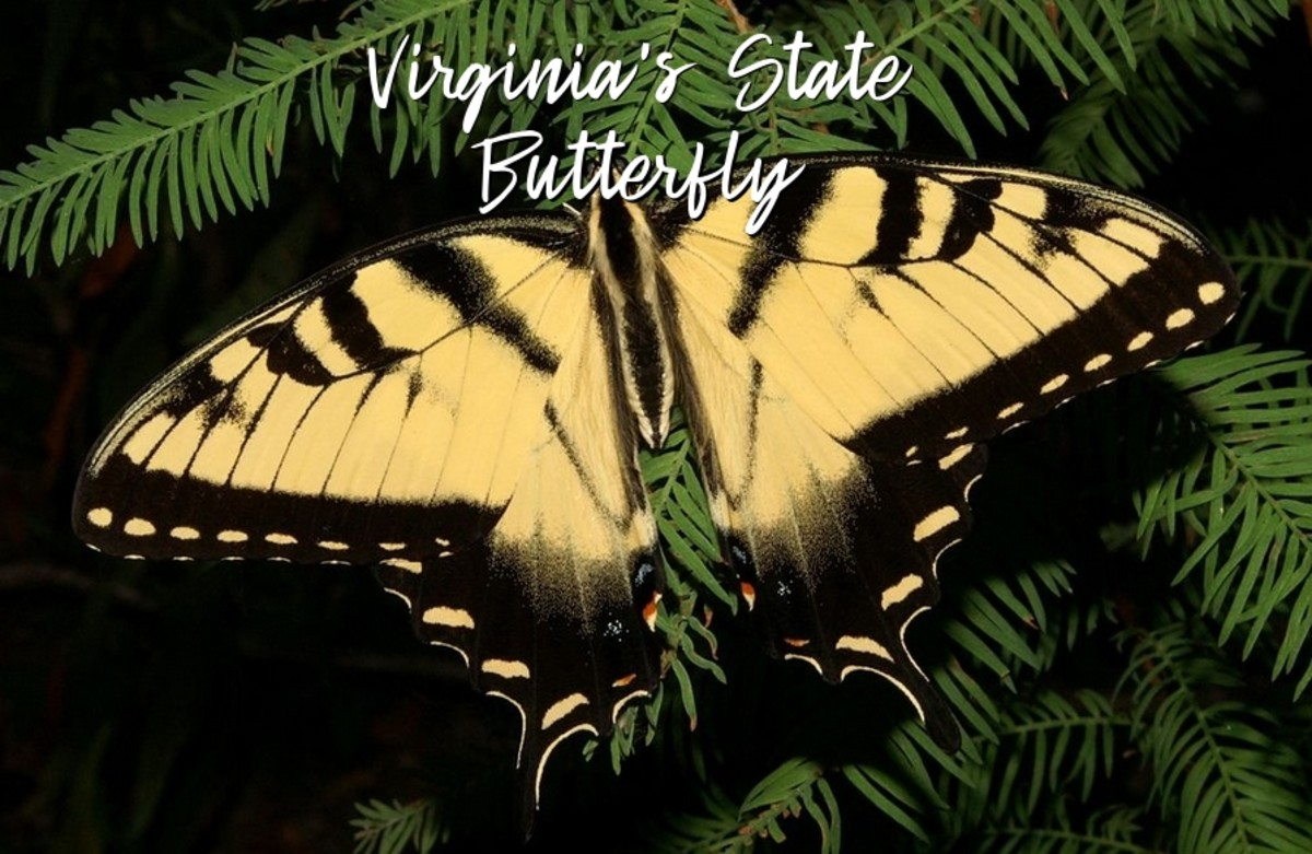 The State Insect of Virginia: The Eastern Tiger Swallowtail Butterfly