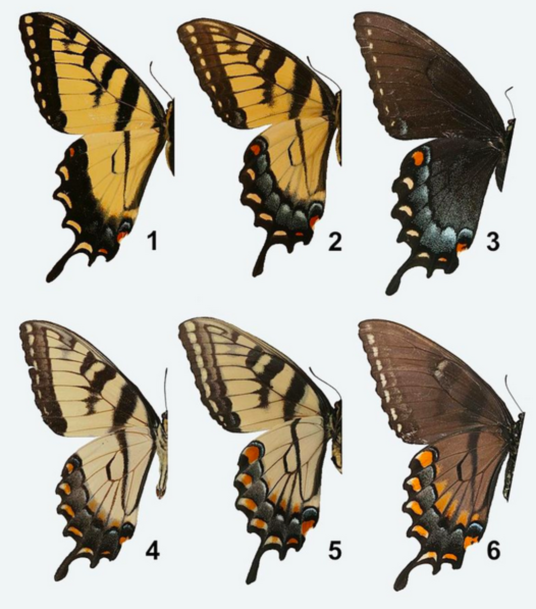 Sexual dimorphism in the tiger swallowtail
