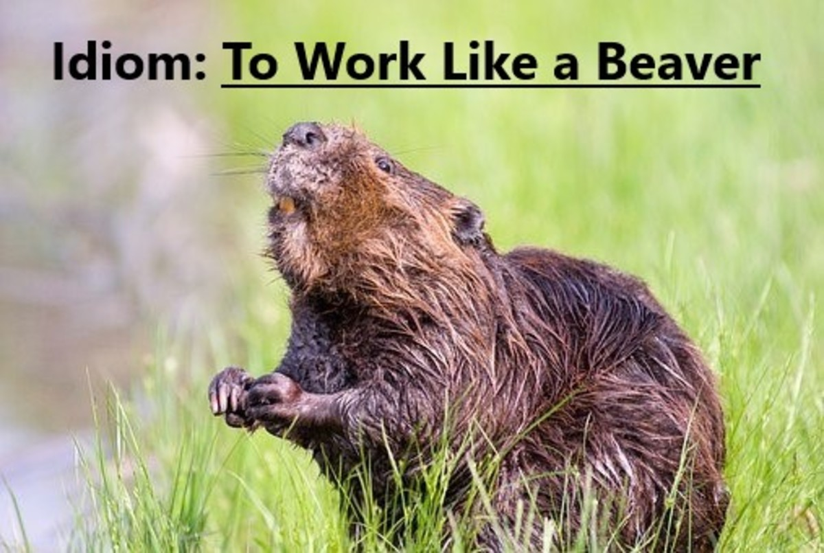 Beavers are known for being industrious creatures. They spend a great deal of time and effort building and maintaining their dams or impoundments.