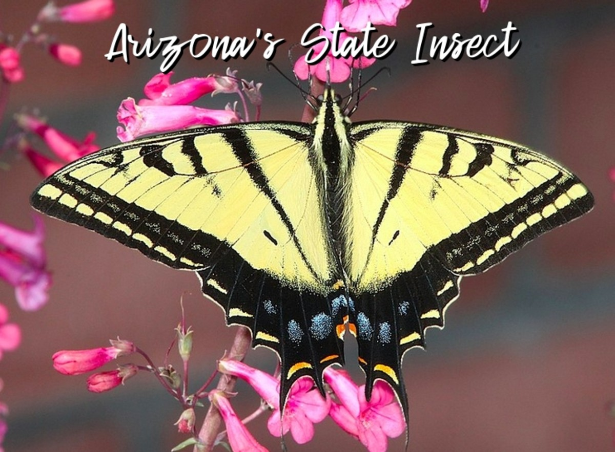 state-insect-of-arizona