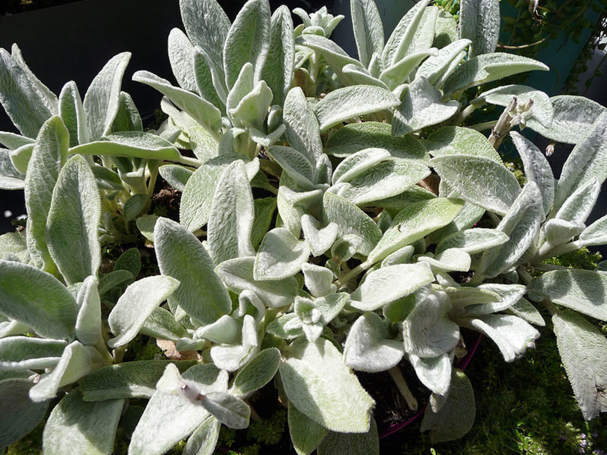 How to Grow Lamb's Ear, a Drought-Tolerant Plant