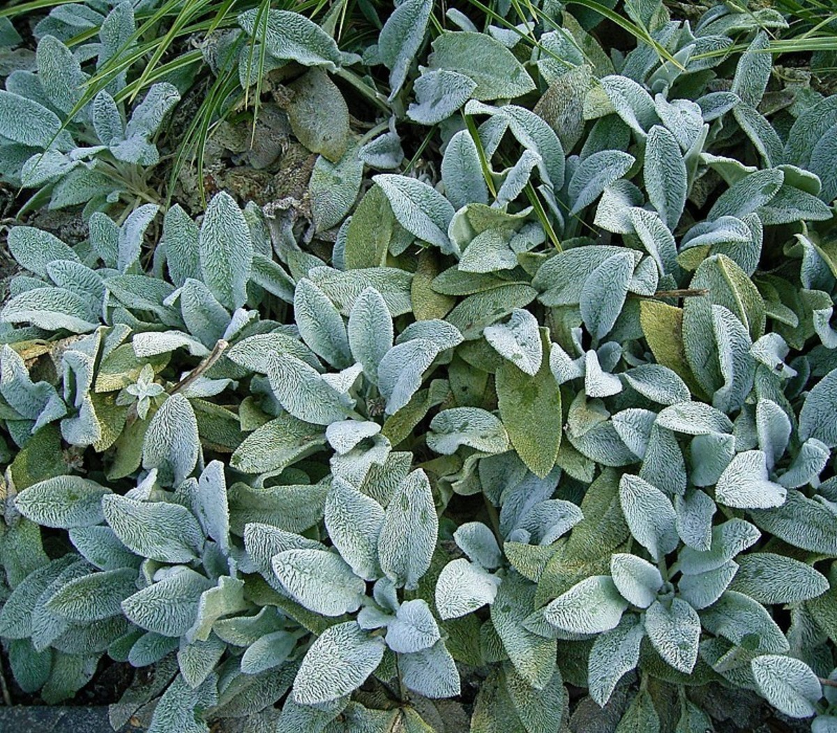 Lamb's ear spreads readily and can easily become overcrowded.