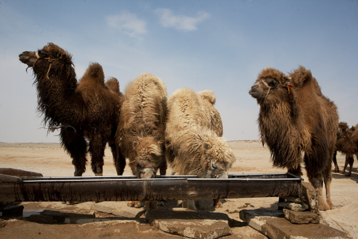 Watering camels at a well in the gobi desert