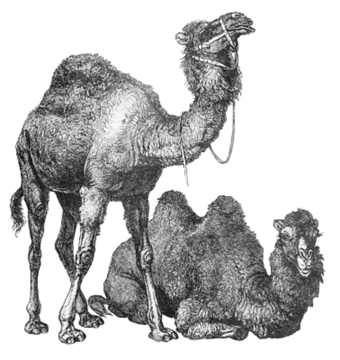 Humped Camels