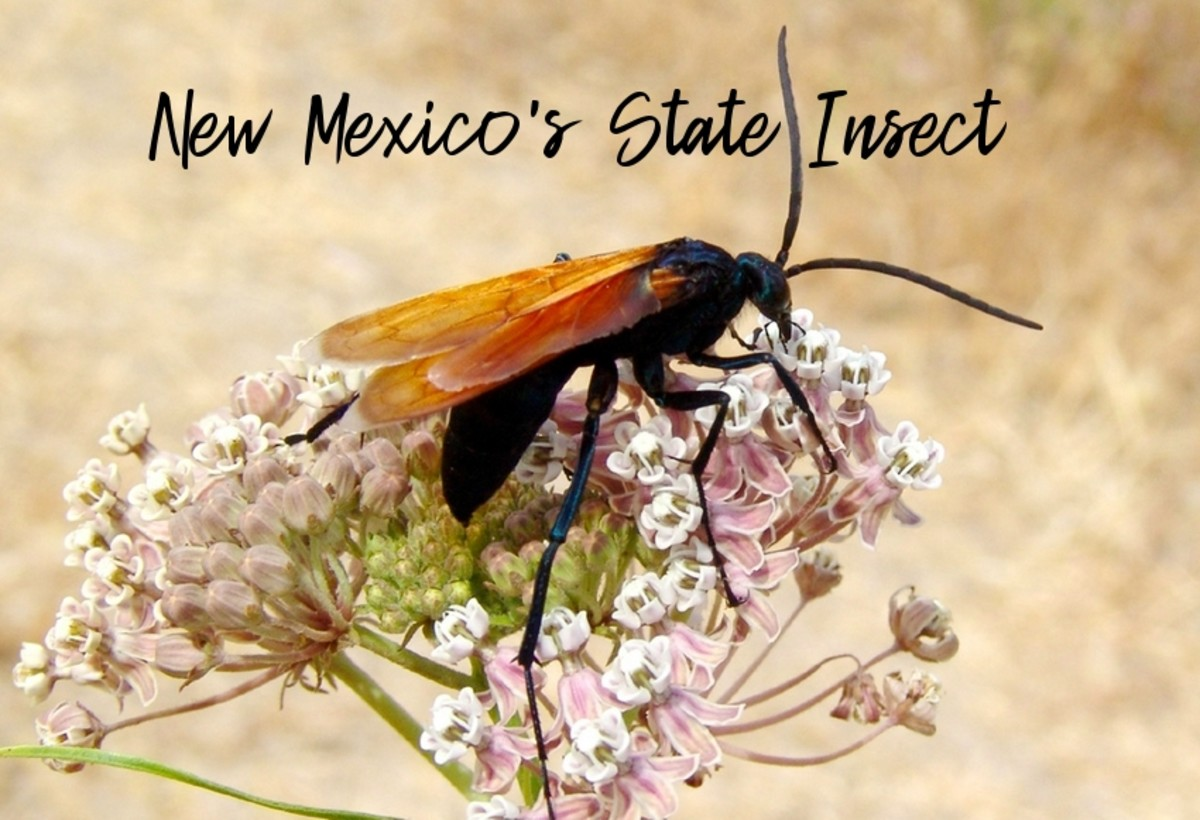 The State Insect of New Mexico: The Tarantula Hawk Wasp