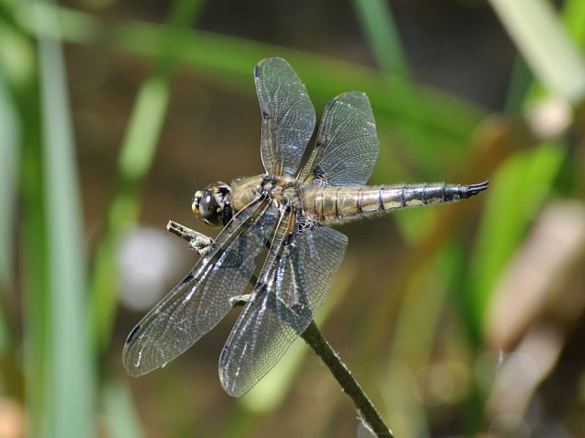 A four-spotted chaser dragonfly perching