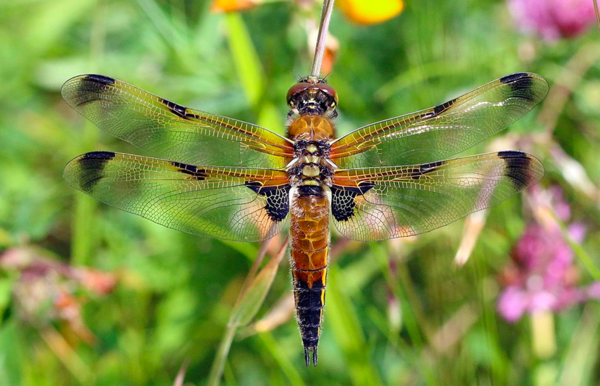 Alaska's State Insect