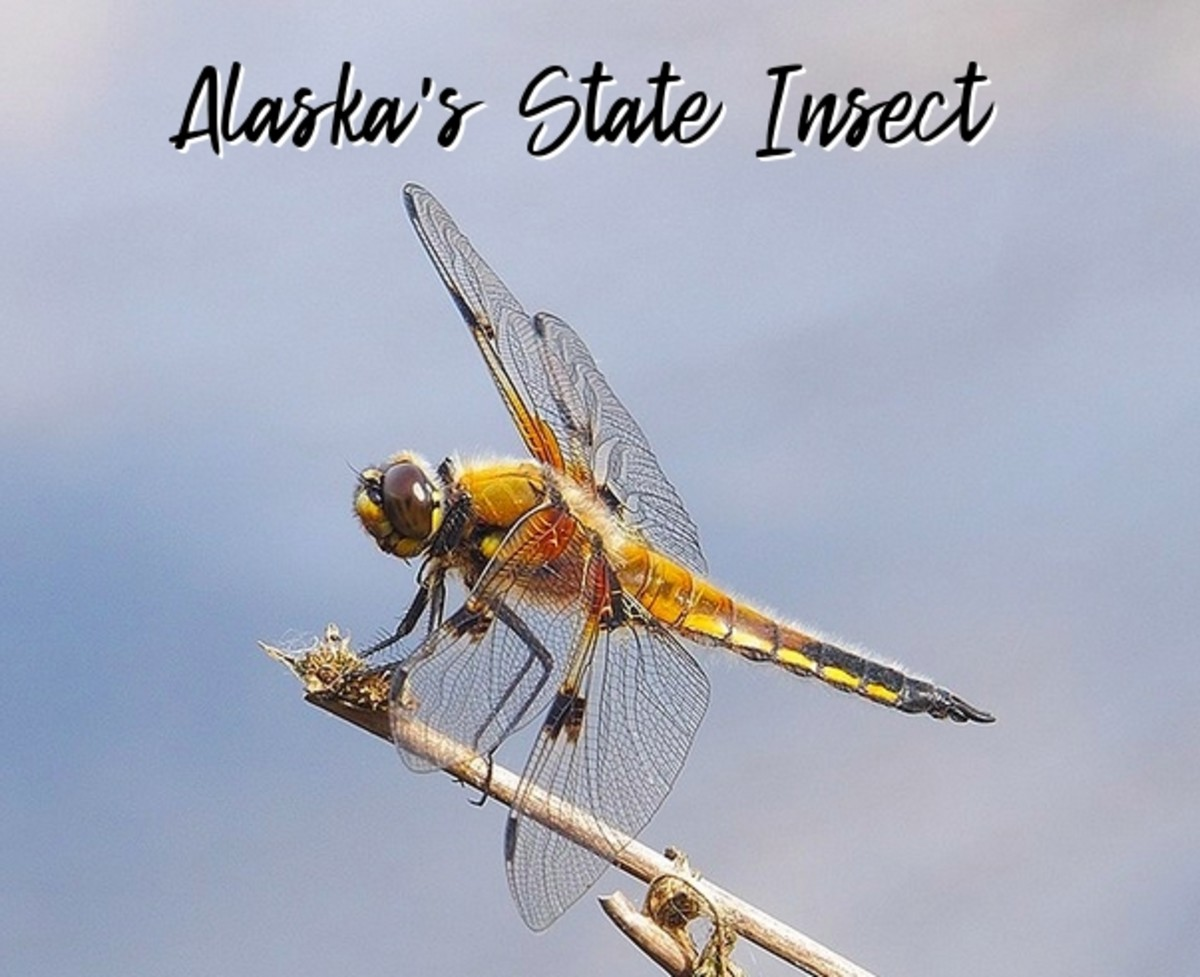 The State Insect of Alaska: The Four-Spotted Chaser Dragonfly