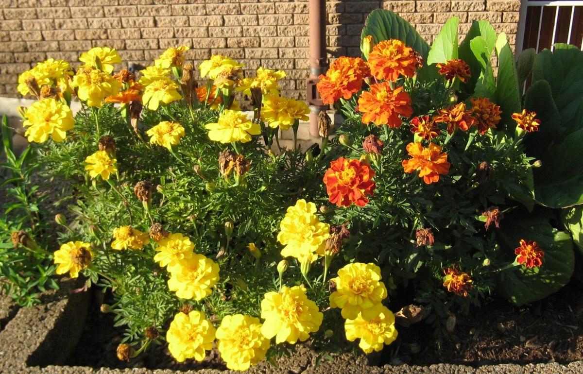 Marigolds in Midsummer Johannesburg