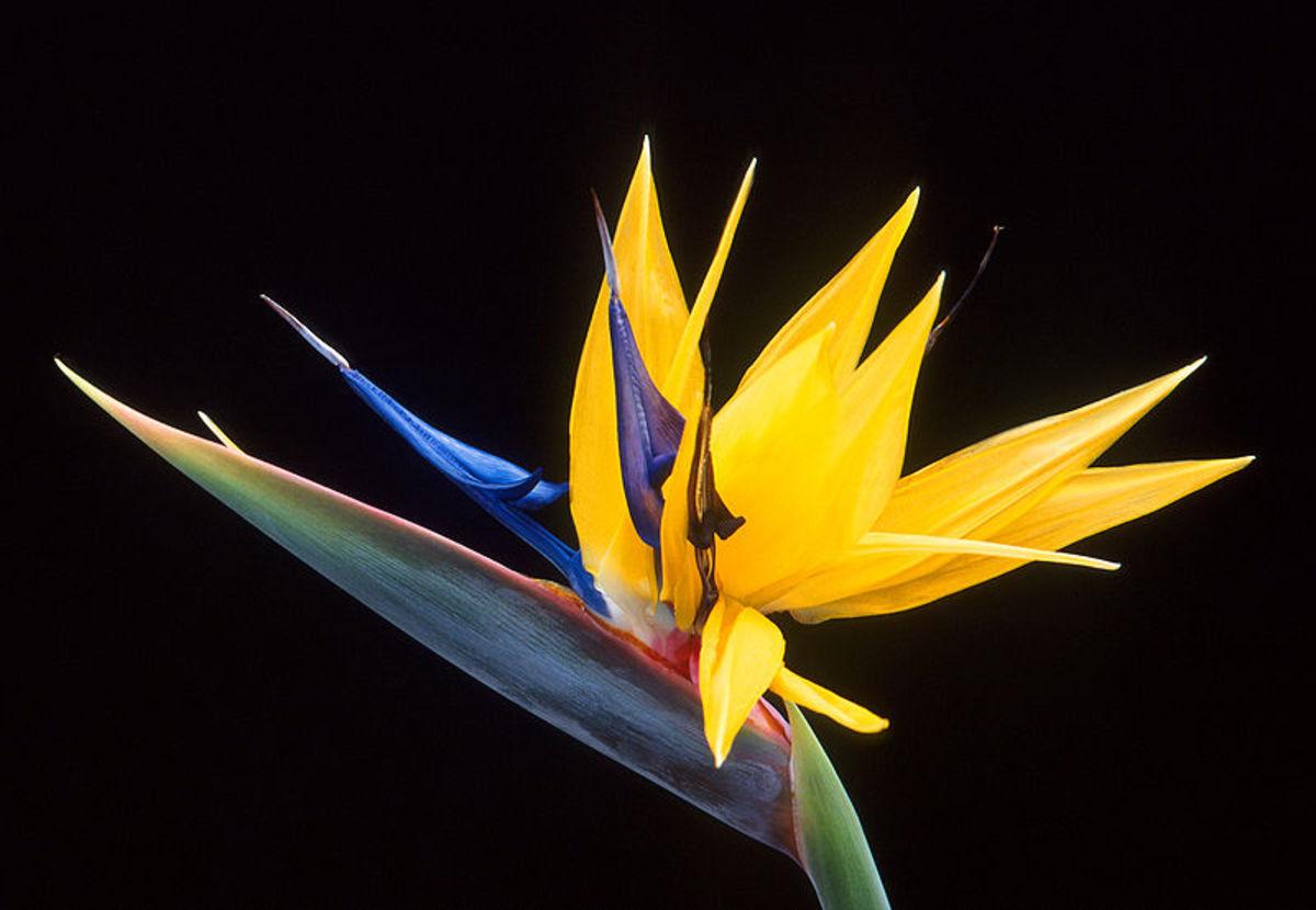 Bird of Paradise Flower / Crane Flower