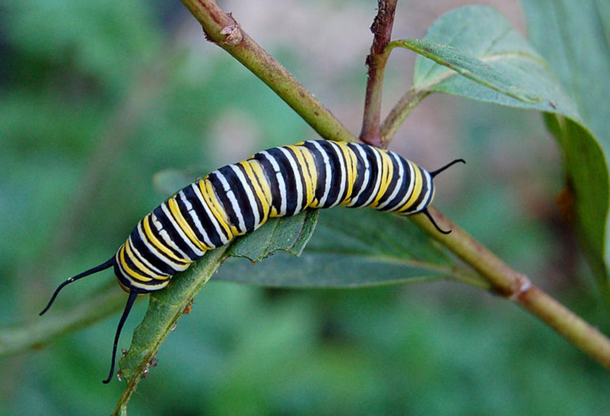 A monarch caterpillar