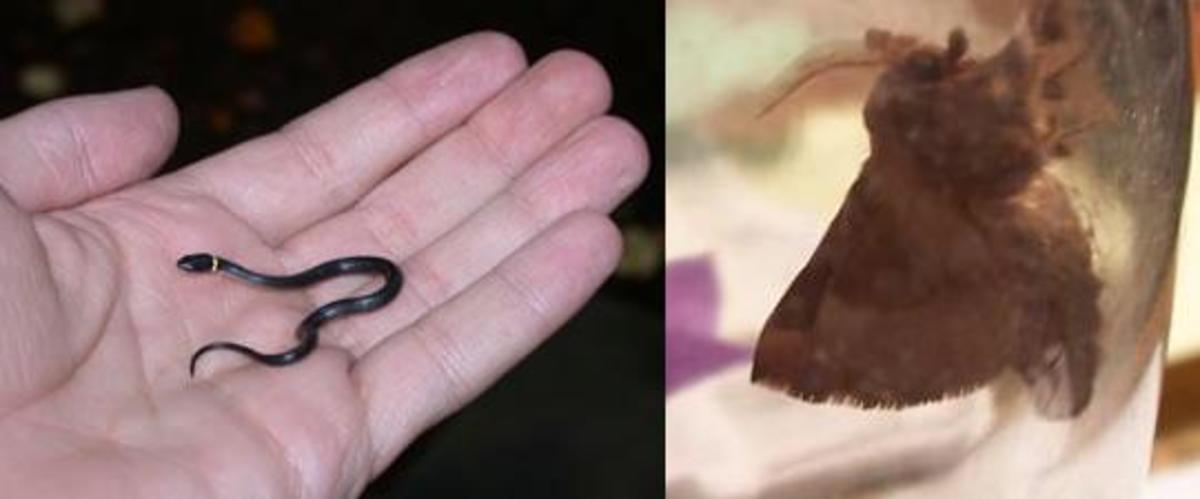 Ring-Neck Snake and The Moth